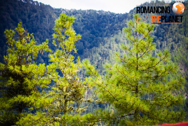 Beautiful pine tress in the forests of Bhutan