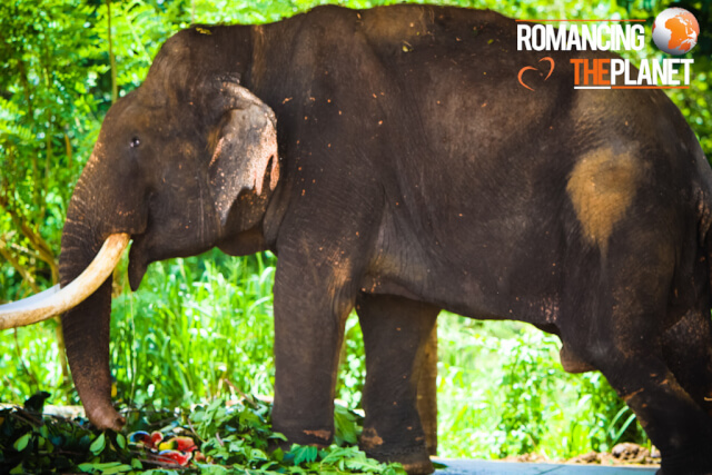 The oldest elephant at the orphanage
