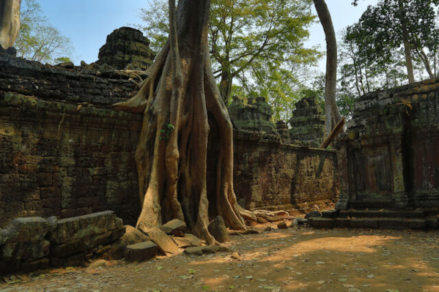 Tree growing on the ruins of Ta Prohm