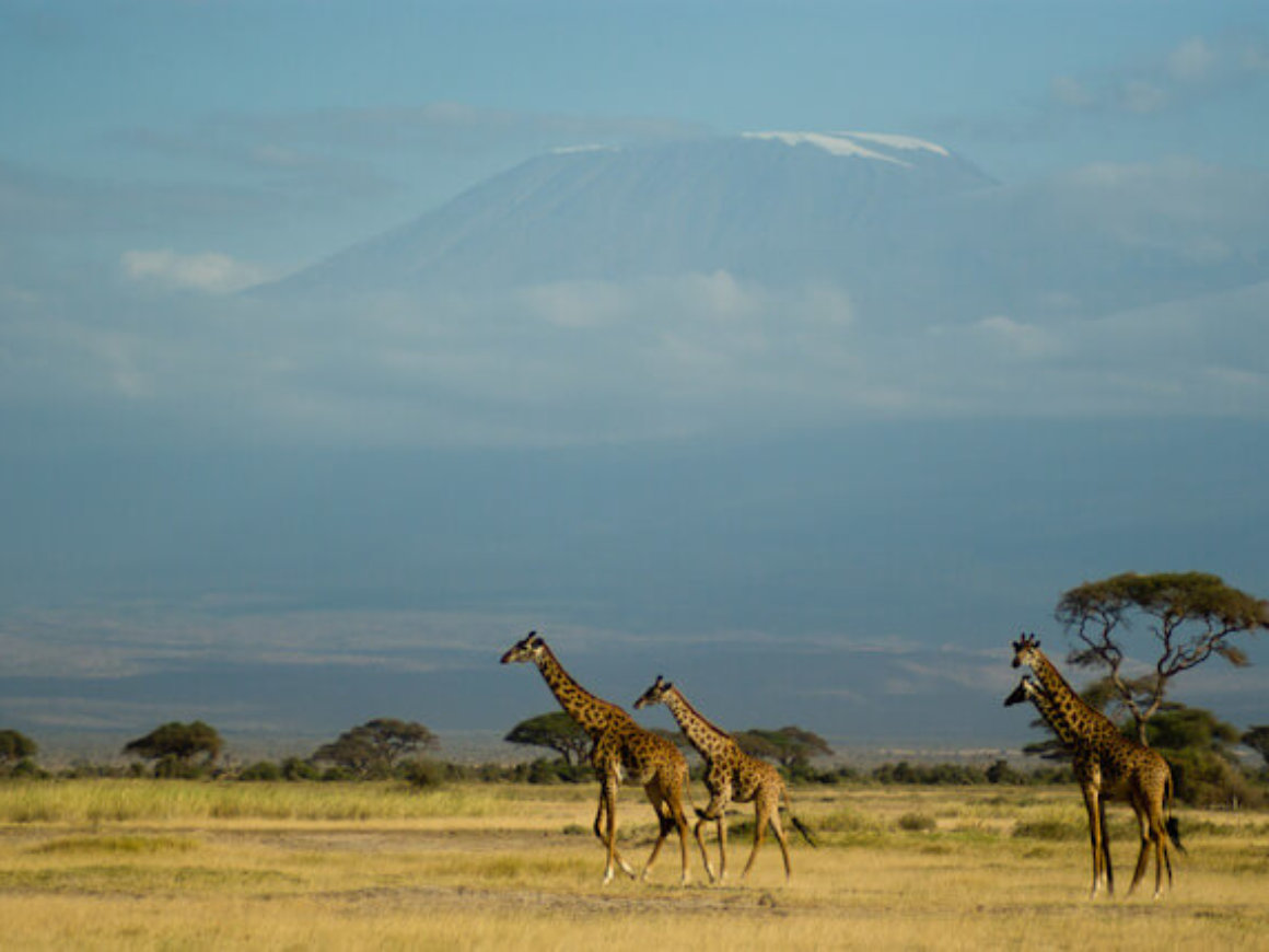 Giraffes and Kilimanjaro