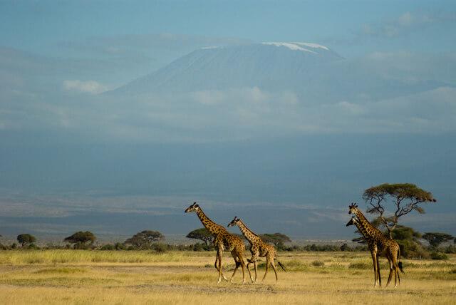 Giraffes and Kilimanjaro