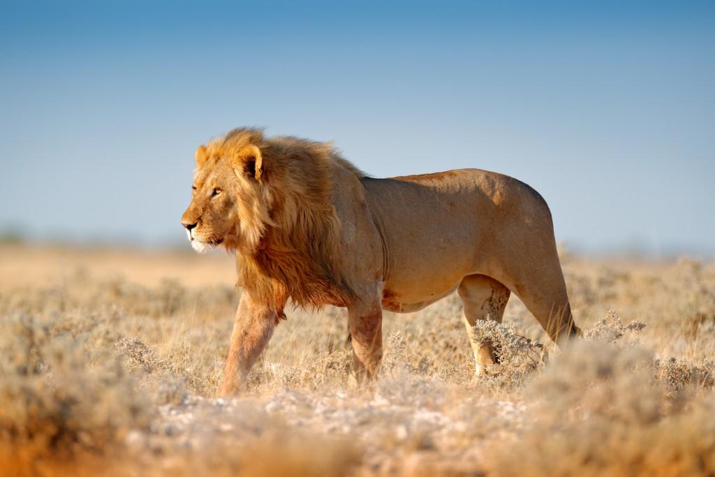 big cat safaris in africa